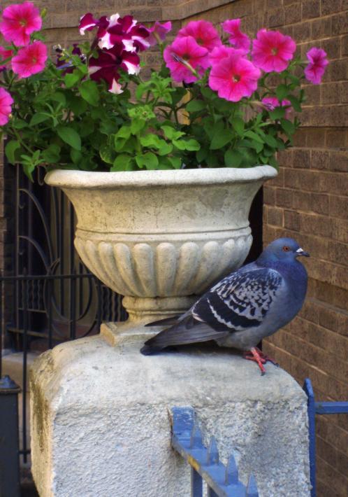 Pigeon at 533